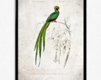 Quetzal Bird Vintage Print - Instant Download - Bird Poster - Bird Art - Bird Picture - Bird Illustration - Wall Art - Orbigny (PD1037)