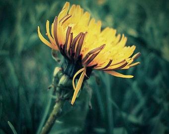 "Dandelion Photograph - Nature Photograph - Spring Art - Floral Art - Green and Yellow Art - Home Decor - Wall Art - ""Intruder"""