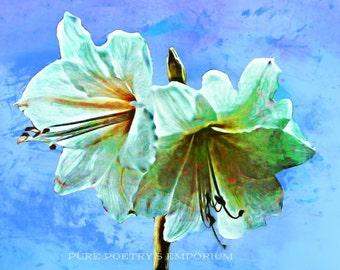 SALE Digital Download White Amaryllis Flowers Digital Art - Enhanced Photography - Digital File