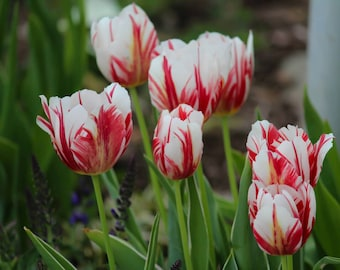 Fine Art Photography 8x10 Print Red and White Spring Tulips