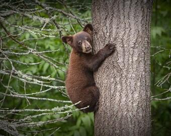 Black Bear Cub, Bear Cub, Black Bear, Bear climbing, Tree Trunk, Minnesota Woods, Vince Shute, Wildlife Sanctuary, Wildlife Photograph