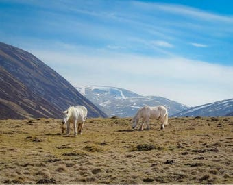 Scottish Horses Celebration Birthday Greeting Anniversary Blank Card