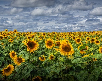Field of Golden Blooming Sunflowers with a Cloudy Blue Sky in a Field near Rockford Michigan No.117 Fine Art Yellow Flower Nature Photograph
