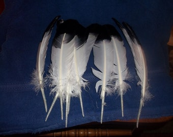 10 Dyed turkey feathers ( look like eagle feathers ) real animal bird parts
