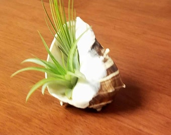Air plants in a shell