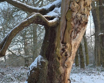 Sherwood Forest Ancient Oak Tree. A Photographic Print