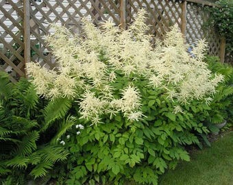 50 WHITE GOATS BEARD (like Astilbe) Aruncus Dioicus Flower Seeds