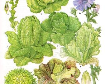 Vintage vegetable print - 1970s lithograph - cabbage lettuce - cos lettuce - chicory print - cookery print - kitchen decor - vintage kitchen