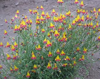 Schizanthus coccineus 10 seeds
