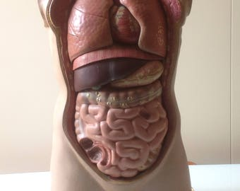 Human body, male bust, educational model, anatomy class, vintage 1950s/60s, resin, complete with all organs, Italy