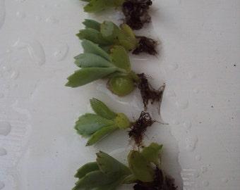 Kalanchoe Baby Succulent, Terrarium Live Plant Sale