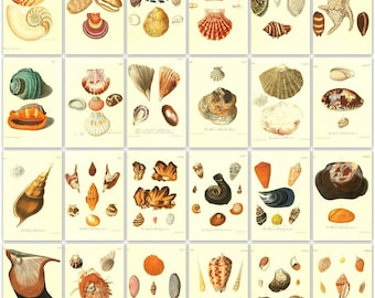 200 Shell colour plates from 3 Antique Books  High Resolution Instant digital download