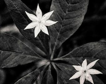 starflower, 8x10 fine art black & white photograph, nature