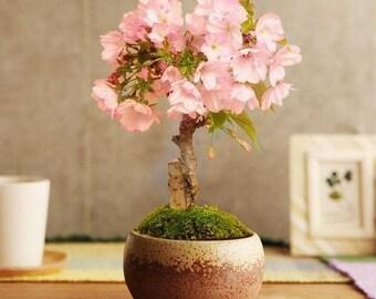Bonsai - JAPANESE FLOWERING CHERRY (Prunus serrulata)  5 seeds