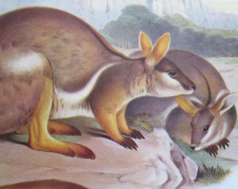 ANTIQUE 1934 AUSTRALIAN Yellow Footed Rock Wallaby - native animal, print, drawing, illustration, book page