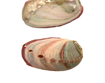 """Red Abalone Shell 2-3""""L + (2 pack) - K&K Express Goods"""