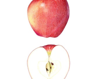 Gala Apple - Archival print of my colored pencil drawing