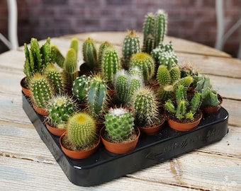 Cactus Mix - House / Office Live Indoor Pot Plant - Ideal Wedding Favour Party Gifts - In 5cm Pots