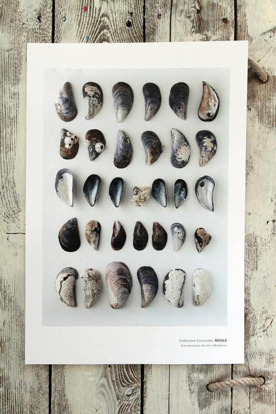 "Naturalist poster BLUE MUSSELS - 13"" x 19"""