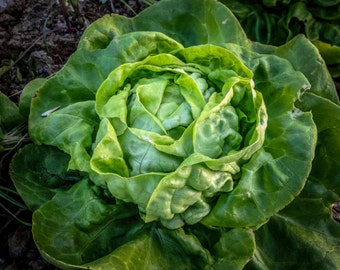 Buttercrunch Lettuce Seeds (~500): Certified Organic, Non-GMO, Heirloom Seed Packet