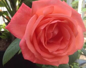 Rose Petals, Flowers, Romance, Exotic, Perfume, Floral, Love, Passion, Luxury