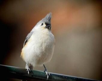 Bird Photograph - Tufted Titmouse - Bird Art - Cute Little Bird - Nursery Wall Art - Gray Bird - Bird Wall Decor - Nature Photograph
