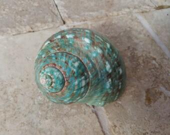Turbo Shell -  Jade Turbo Shell - Natural Turbo - Polished Jade Seashell - Polished Jade Turbo - Pearlized Shell - No. 205