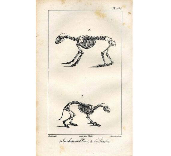 1817 Tier SKELETTE Bär & Waschbär original antiken Anatomie