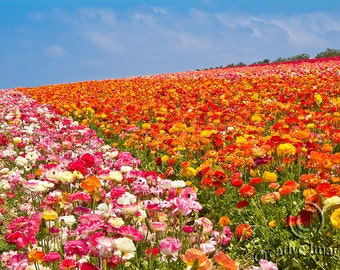 Flower Fields Carlsbad, Flowers, Nature Photography, Landscape Photography