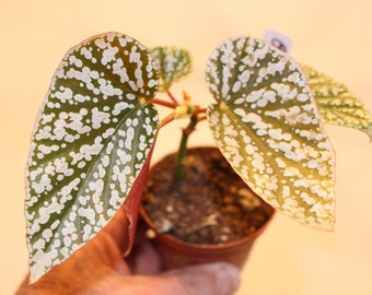 begonia snow capped