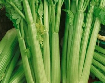 Tall Utah 52 Heirloom Celery Seeds Non-GMO Naturally Grown Open Pollinated Gardening