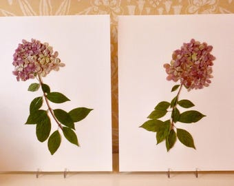Real Pressed Flower Botanical Art Herbarium Collection of Limelight Hydrangeas 11x14