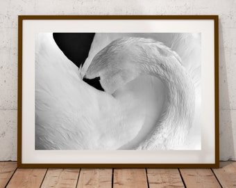 White Swan,digital download,wildlife,swan,birds