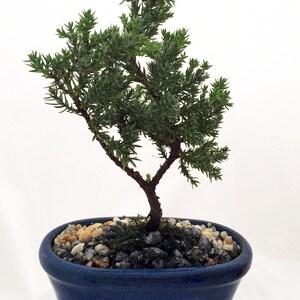 Miniature Japanese Juniper Bonsai Tree   Ceramic Bonsai Pot