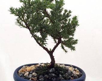 Miniature Japanese Juniper Bonsai Tree - Ceramic Bonsai Pot