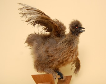 Rosie the Rocking Taxidermy Silkie Chicken.