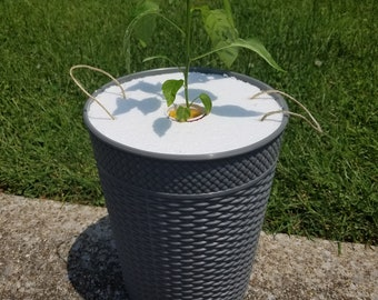 Grow your own - Jalapeno peppers: Kratky hydroponic container