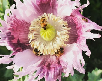 Poppy Flower Seeds, Papaver somniferum, Mixed Color Poppies, Growing Instructions, Heirloom Poppy Seeds, Great for Meadow Gardens