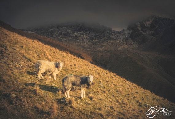 Herdwicks below the Scafells [Photographic Print]