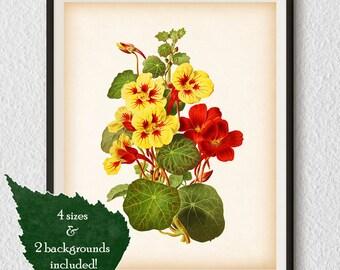 Antique flower print, Nasturtium, Floral printable, Floral wall art, Flower art print, Flower instant download, Flower wall art, Print, #56