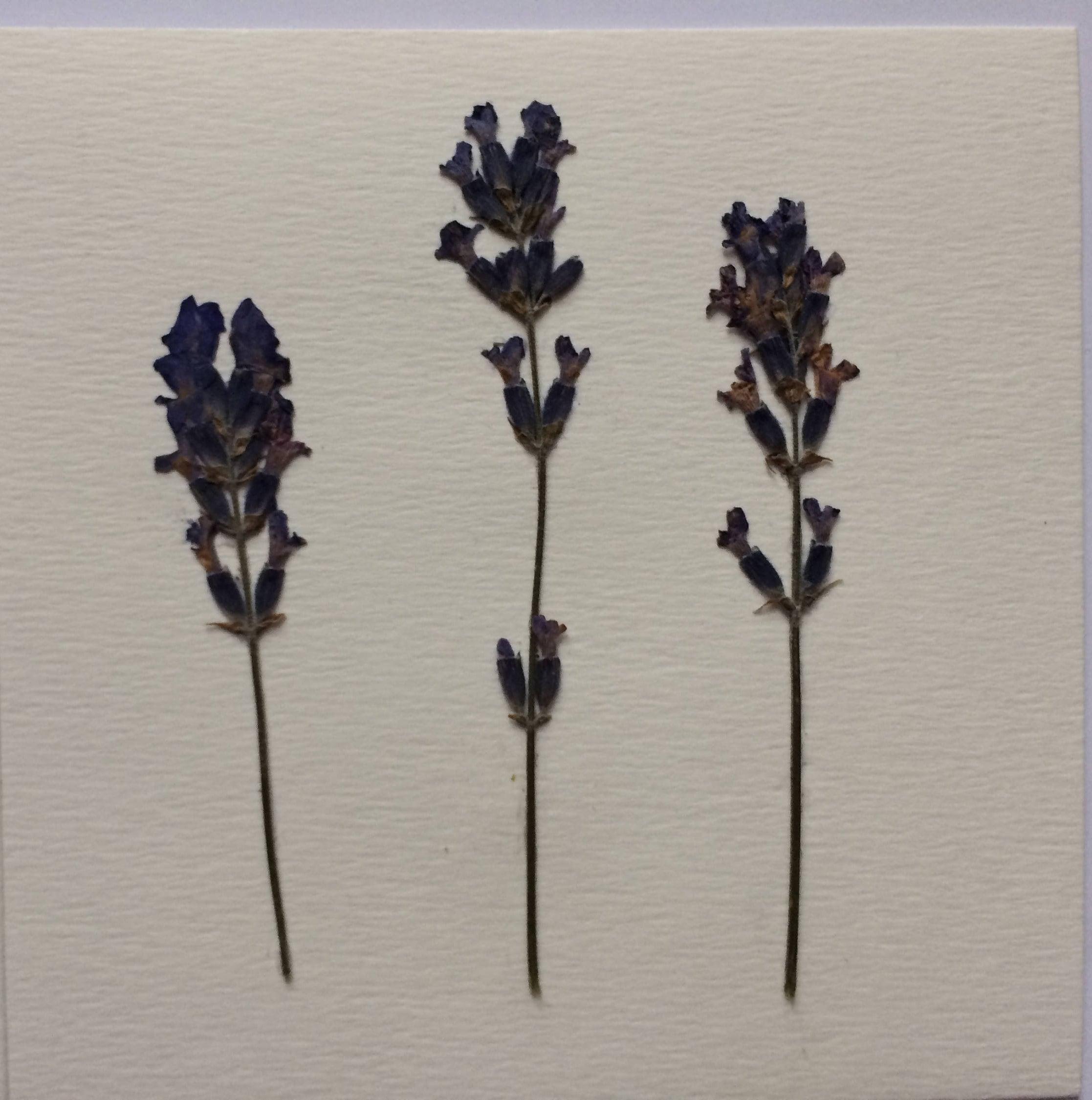 Getrocknete gepresste Lavendel gepresste Blumen-Karte