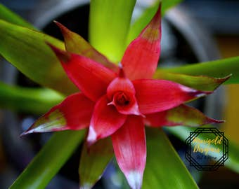 Whats up Bro(melida guzmania)