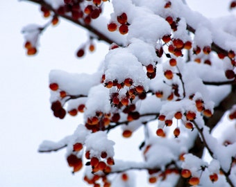 Snow, Red Berries, Winter, Nature Photography