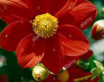 Dahlia- Mignon Red- 25 Seeds