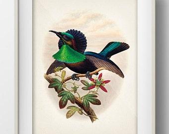 Duivenbode's Bird of Paradise - BP-06 - Fine art print of a vintage natural history antique illustration