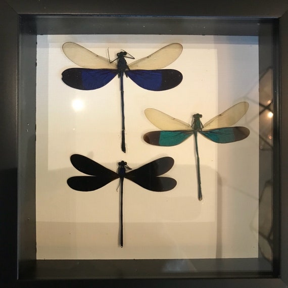 Taxidermy dragon fly display! Real