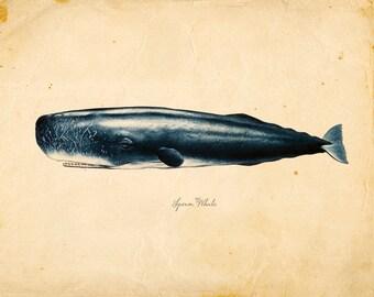 Vintage Sperm Whale Print 8x10 P85