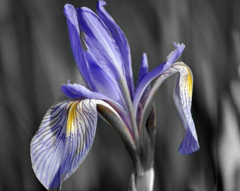 Single Wild Purple Iris Black