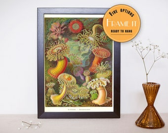 """Vintage illustration from Ernst Haeckel  - framed fine art print, sea creatures,sea life, home decor 8""""x10"""" ; 11""""x14"""", FREE SHIPPING - 306"""