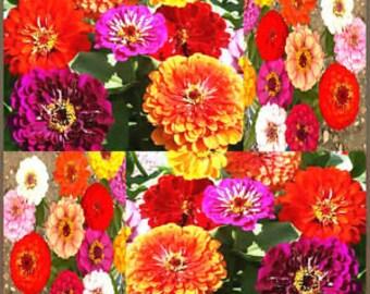 Pompom Zinnia mix color 50 seeds